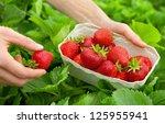 Harvesting Perfect Strawberrie...