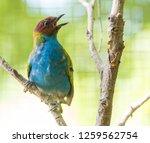 bay headed tanager  tangara...   Shutterstock . vector #1259562754