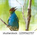 bay headed tanager  tangara...   Shutterstock . vector #1259562757