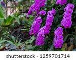 orchids in the garden. | Shutterstock . vector #1259701714