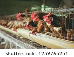eggs chickens  hens in... | Shutterstock . vector #1259765251