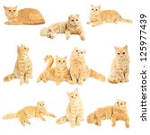 Stock photo set collage from scottish cats isolated on white 125977439