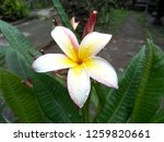 frangipani flowers in the... | Shutterstock . vector #1259820661