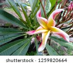 frangipani flowers in the... | Shutterstock . vector #1259820664