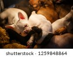 cute french bulldog puppies... | Shutterstock . vector #1259848864