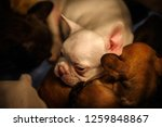 cute french bulldog puppies... | Shutterstock . vector #1259848867