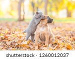 Stock photo playful kitten playing with puppy on fallen autumn leaves at sunset 1260012037