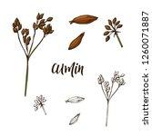 hand drawn cumin herb.... | Shutterstock .eps vector #1260071887