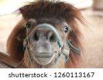 face of dwarf horse | Shutterstock . vector #1260113167