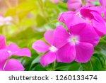 bright pink flowers in pots... | Shutterstock . vector #1260133474