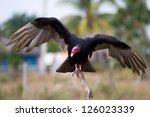 Close Up Of A Turkey Vulture ...