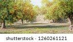 bloomy orange garden in... | Shutterstock . vector #1260261121