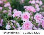 flowering roses queen of sweden | Shutterstock . vector #1260275227