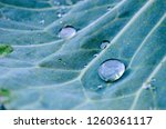 Water Drop On Cabbage Leaf