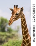 portrait of a reticulated... | Shutterstock . vector #1260438934