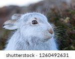 Stock photo white mountain hare lepus timidus in scottish highland these hare change their fur colour white 1260492631
