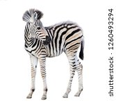 Stock photo cute child zebra isolated on white background 1260493294