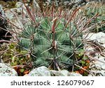 beautiful shape green cactus... | Shutterstock . vector #126079067