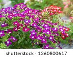 Verbena Flower In The Garden ...