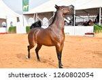 the arabian horse | Shutterstock . vector #1260802054