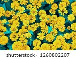 spring  blossom  yellow flowers ... | Shutterstock . vector #1260802207