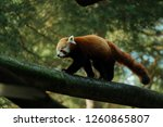 red panda in the forest | Shutterstock . vector #1260865807