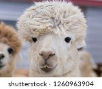 Closeup of funny cream-coloured alpaca with straw in its mullet standing in front of other animals in soft focus background, Pont-Rouge, Quebec, Canada