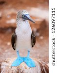 Close Up Of Blue Footed Booby...