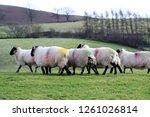 herd of rough fell black and... | Shutterstock . vector #1261026814