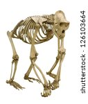 Gorilla skeleton isolated on...
