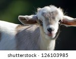 Close Up Of A Cute Baby Goat