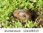 Small photo of A Botta's pocket gopher peeks out of its burrow to much on weeds at Pt. Reyes National Seashore, California.