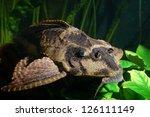 ancistrus dolichopterus   Shutterstock . vector #126111149