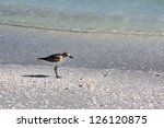 Small photo of American Golden Plover (Pluvialis dominica) on a beach on Sanibel Island, Florida