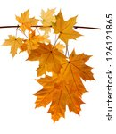 autumn leaves isolated on white | Shutterstock . vector #126121865