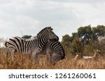 saw this zebra whilst visiting... | Shutterstock . vector #1261260061