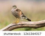 euarsian sarrowhawk  accipiter... | Shutterstock . vector #1261364317