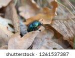 geotrupinae. trypocopris... | Shutterstock . vector #1261537387