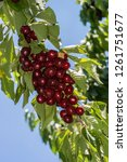 cherries branch ready to... | Shutterstock . vector #1261751677