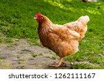 chicken on the ground | Shutterstock . vector #1262111167