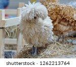 white polish chicken or fancy... | Shutterstock . vector #1262213764