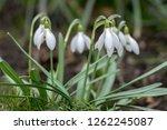 bunch of galanthus nivalis ... | Shutterstock . vector #1262245087