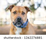 a brown and white mixed breed... | Shutterstock . vector #1262276881