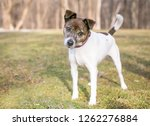 a brindle and white jack... | Shutterstock . vector #1262276884