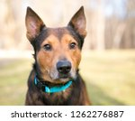 close up of a shepherd terrier... | Shutterstock . vector #1262276887