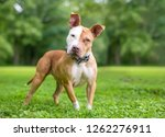 a red and white pit bull... | Shutterstock . vector #1262276911