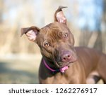 a brown pit bull terrier mixed... | Shutterstock . vector #1262276917