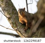 A Louisiana Fox Squirrel Sits...