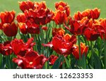 blossoming tulips | Shutterstock . vector #12623353