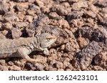 andina lizard  liolaemus andina ... | Shutterstock . vector #1262423101